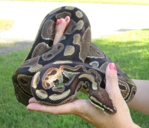 Terra, a ball python