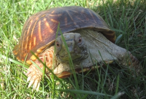 Douglas, the ornate box turtle Oct. 2013