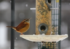 A beautiful Carolina wren
