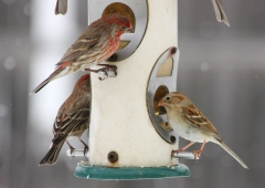 House finches and a field sparrow on the tube feeder