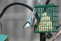 A white-breasted nuthatch on the suet feeder