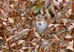 A fox sparrow in the forsythia bush