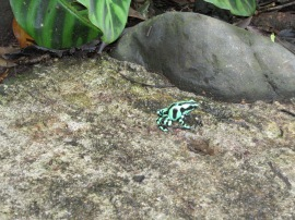 Green and black dart frog