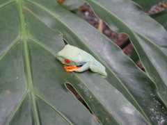 Resting red-eyed tree frog