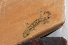 A leaf-toed gecko in our open air shower.