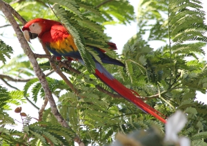 Scarlet macaw from the balcony of our room.