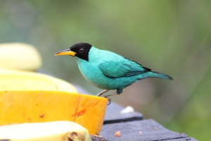 Male green honey creeper.