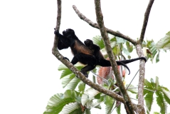 Female black howler monkey carrying her baby on her back.