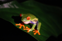 Red-eyed tree frog at night