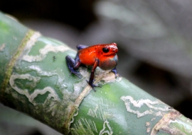 Strawberry dart frog, aka a blue jeans frog for its blue legs.