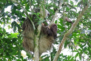 A three-toed sloth lounging in a tree