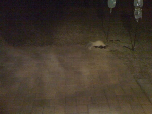 The first skunk of 2014.