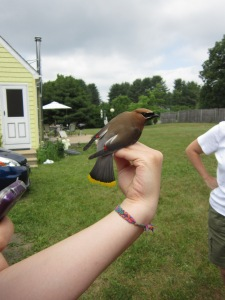 A cedar waxwing from Nestwatch 2014.