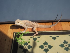 Norbert, the bearded dragon soaks up some sun.