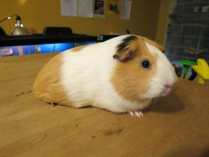 Hadley, the guinea pig